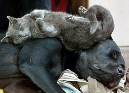 gato_dormindo_em_cima_cachorro