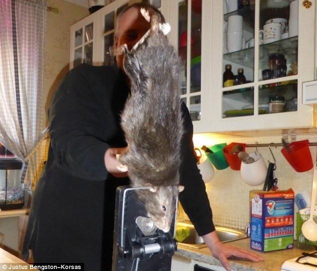 rato-de-quase-40-centimetros-e-preso-em-ratoeira-apos-assustar-uma-familia-de-suecos-perto-de-estocolmo-suecia-1395875184786_634x542